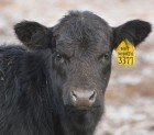 Healthy Beef Cow