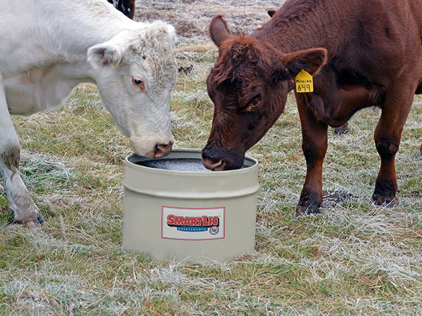 Cattle licking SmartLic Supplement