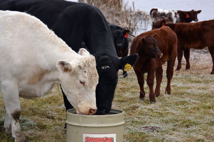Cows and Calves eating Supplements