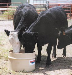 Feeding cattle forage supplements