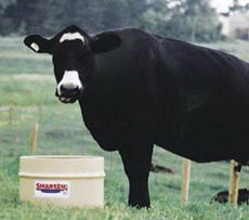Cow eating magnesium supplement