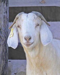 Feeding & Forages for Goats